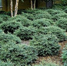 native japanese plants stoke u0027s dwarf yaupon holly monrovia stoke u0027s dwarf yaupon holly