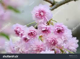 cherry blossoms japanese sakura tree branch stock photo 407055796