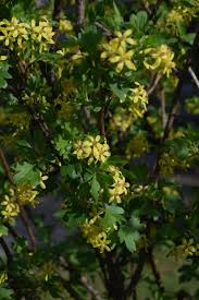 what is a native plant two shrubs for spring fragrance u2013 gardeninacity