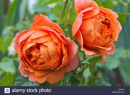 rosa summer song stock photos u0026 rosa summer song stock images alamy
