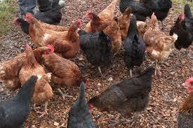 chicken breeds hybrids with chicken breeds for backyard chickens