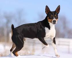 bluetick coonhound jack russell mix squirrel hunting dogs 10 most popular breeds