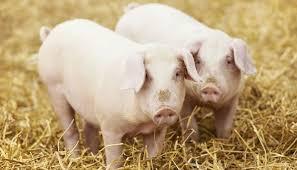 pig welfare compassion farming