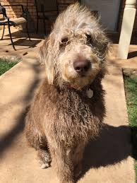 Ginger Doodle Labradoodle Breeder Families In Texas