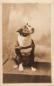 american pit bull terrier history cdv photo dog american staffordshire bull terrier pit bull with