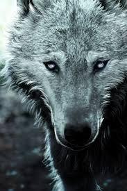 imagenes de fondo de pantalla lobos lobo fondos de pantalla gratis 611 fotos dos para la familia