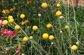billy balls how to grow craspedia growing billy buttons balcony garden web