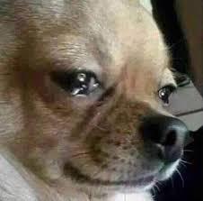 Memes De Chihuahua - concerned chihuahua meme chihuahua best of the funny meme