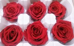 preserved roses preserved roses 8 preserved roses per order colors
