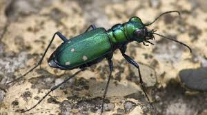 beneficial bugs for pest control in vegetable garden how pest