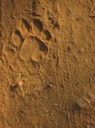 tiger paw prints pictures tiger paw pics tiger boy pinterest