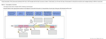 during transcription rna polymerase synthesizes r chegg com