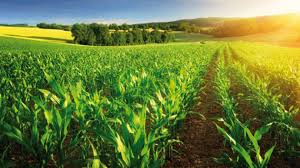 irrigated corn drip irrigation of maize corn in france and italy irrigazette