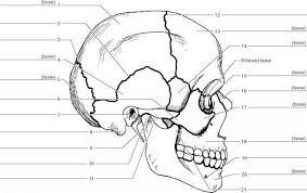 Human Anatomy Skull Bones Tag Human Anatomy Bones Skull Archives Human Anatomy Charts
