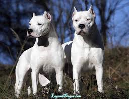 american pitbull terrier illegal which dog breeds are banned in the uk