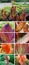 Canna Lily Tropicana Canna Lily Deb U0027s Garden Deb U0027s Garden Blog