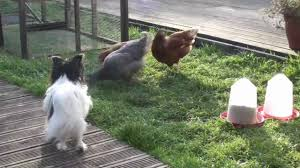 tia u0027s chicken run fun with chickens u0026 kids in our backyard youtube