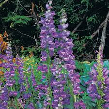 native plant seeds rocky mountain penstemon seeds from park seed