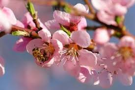 cherry flowers wallpapers cherry flower blossom hd wallpaper hd wallpapers wallpapers