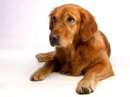 Dog Breeds That Dont Shed Uk by Golden Retriever Shedding How Much And How To Get Control