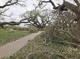 a 1 000 year oak tree stands firm atlas obscura