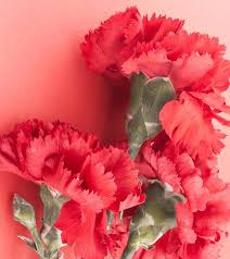 flower pic 7 most beautiful carnation flowers
