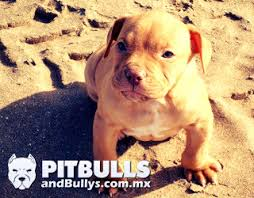 american pitbull terrier jugando pitbull red nose