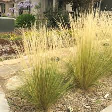 planting native grass seed mexican feather grass invasive beauty can be deceiving uc