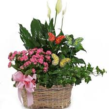 mothers day plants s day plants green plants flowering plants succulent plants