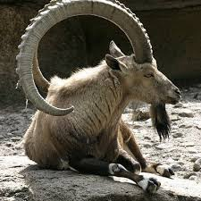 Billy Goat Meme - billy goat on twitter cranky arse no wonder bill is always off