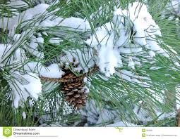 snow cone pine tree stock photo image 66443081