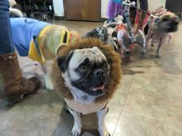 don u0027t miss cute pugs in halloween costumes talent hounds