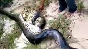 vidio film ular anaconda makan ular segede tubuhnya anakonda ini akhirnya tewas global