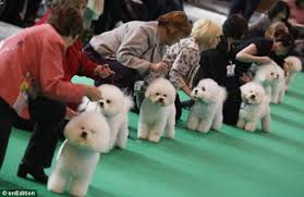 boxer dog crufts 2015 crufts 2012 owners and their look a like dogs in pictures daily