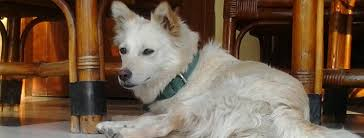 american eskimo dog in india indian spitz breed guide learn about the indian spitz