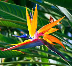 bird of paradise flower bird of paradise flower manufacturer in karnataka india by deccan