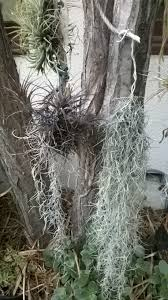 grow spanish moss in your outdoor or indoor garden
