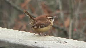 Nc Backyard Birds File Carolina Wren 2 Jpg Wikimedia Commons