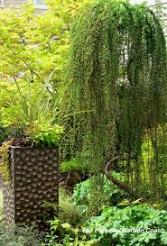51 best trees images on evergreen garden landscaping