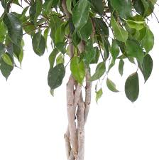 braided benjamina ficus tree weeping fig tree for sale fast