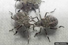 Alabama travel bug images This invasive stink bug will kill your crops infiltrate your jpg