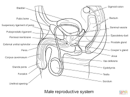 male reproductive system coloring page free printable coloring pages
