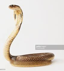 king cobra stock photos and pictures getty images