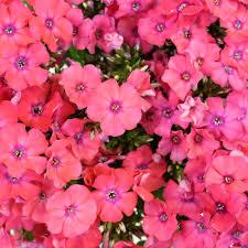 phlox flower hot pink flower