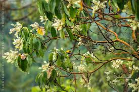 pacific northwest native plants pacific madrone arbutus menziesii native trees of oregon 515 177