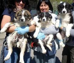 australian shepherd 3 mesi cucciolissimi org cucciolissimi 3 splendidi cuccioli matricole