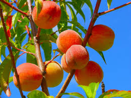 peaches agricultural marketing resource center