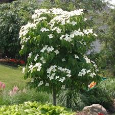 poncho dogwood for sale fast growing trees