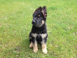 belgian shepherd qld puppies for sale