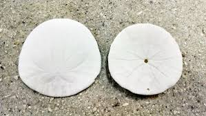 where to buy sand dollars types of sand dollars qualityshells